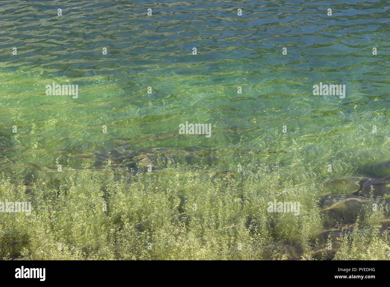 Monochromatic green background of an alpine lake with aquatic plant. - Stock Image