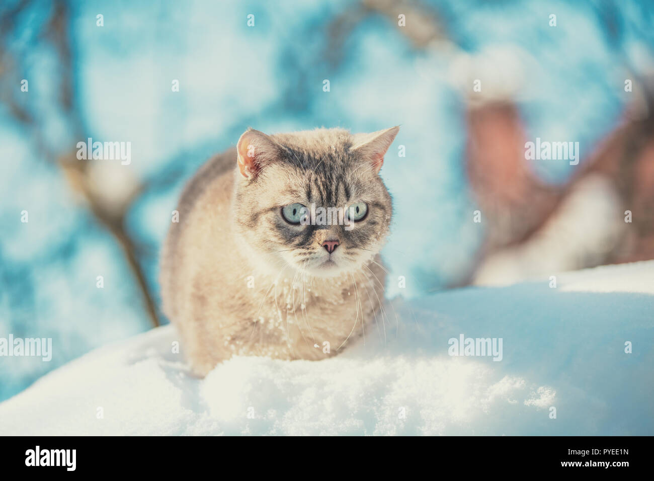 Cute Siamese Cat walking in the deep snow Stock Photo