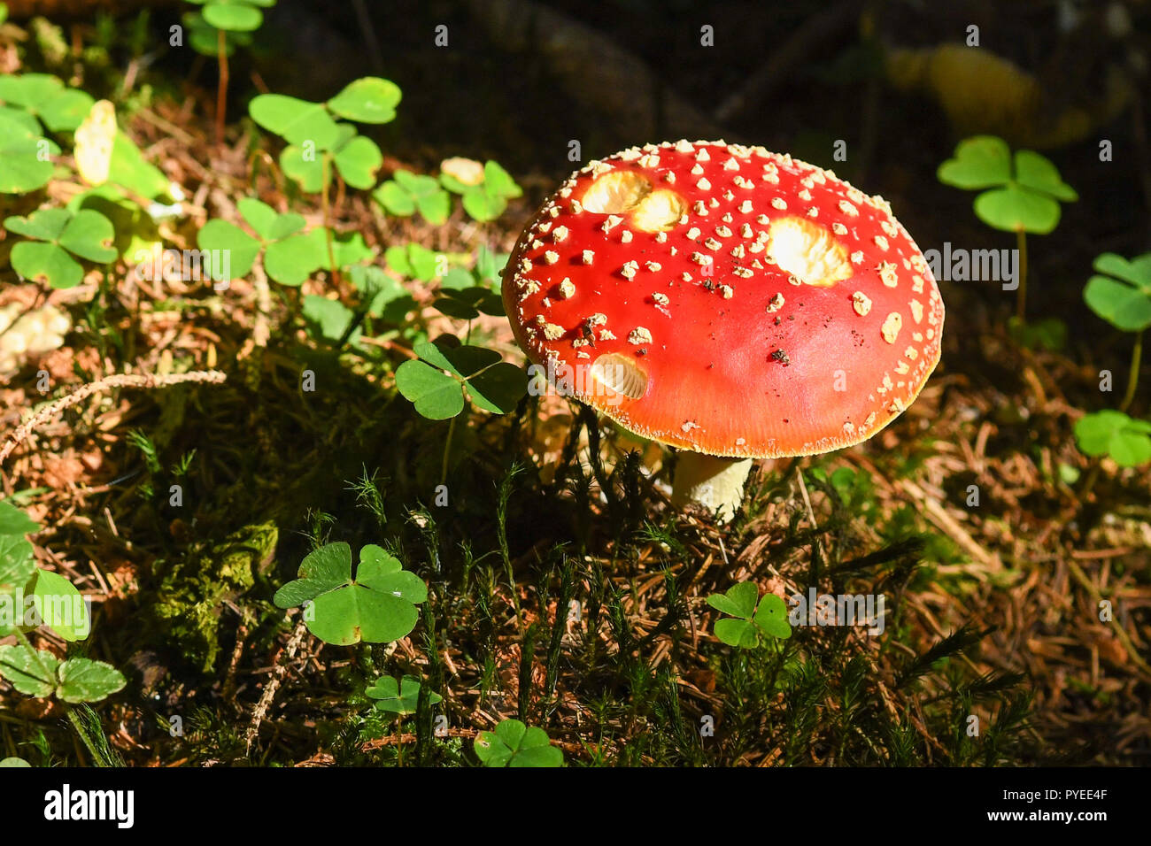 Amanita muscaria or fairytale toadstool  surrounded by wood sorrel in the eastern Black Forest, Germany, Europe - Stock Image
