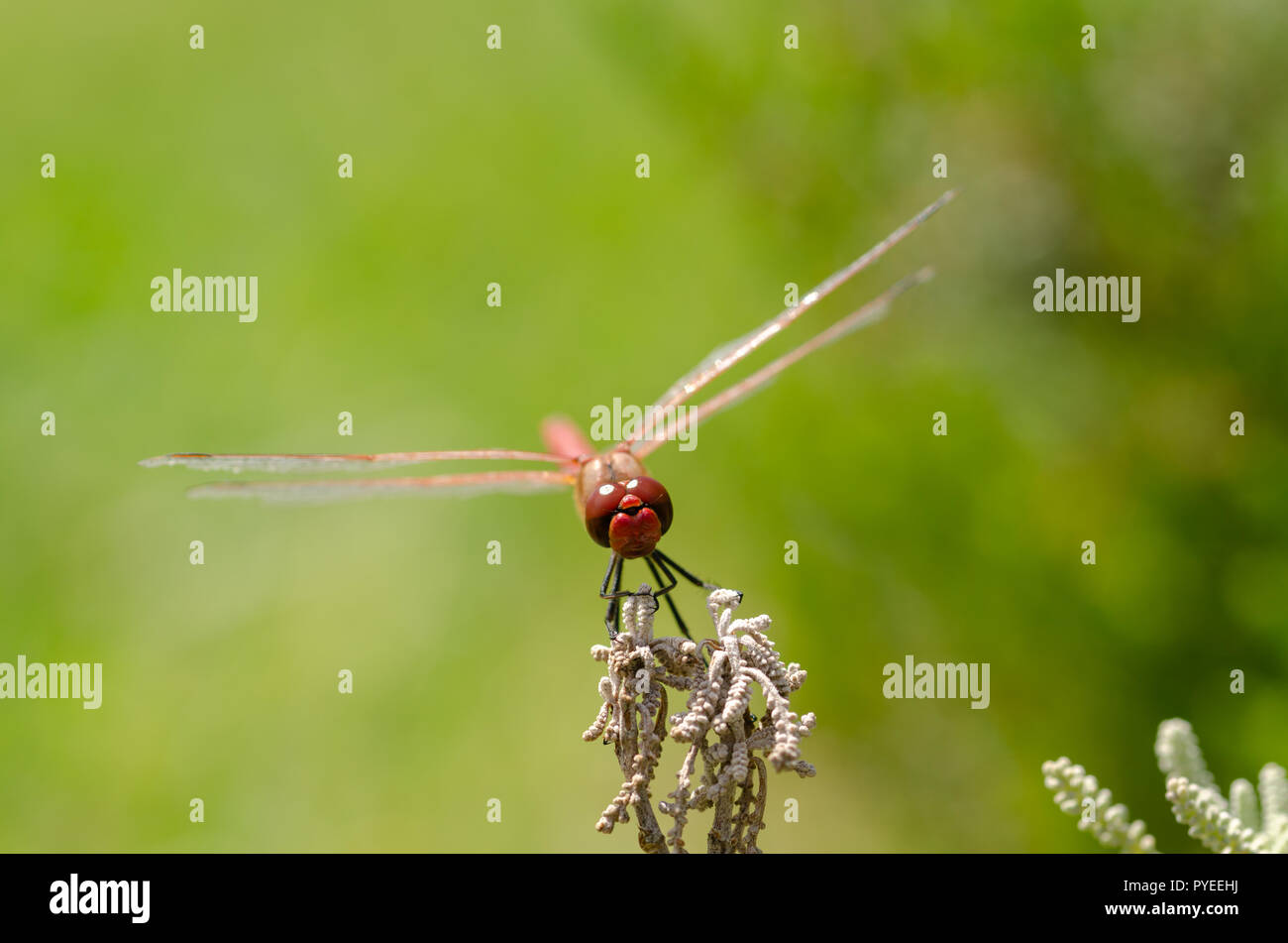 Red dragonfly rests on leaf, green background. Stock Photo