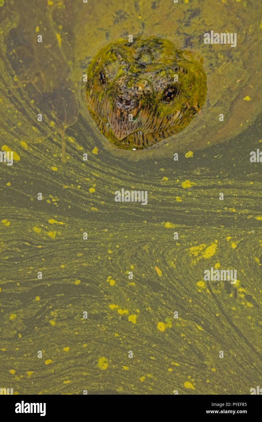 snapping turtle,Chelydra serpentina, and algal bloom,Cyanobacteria, blue-green algae, microcystin-producing cyanobacterium,Woronichinia naegliana,Md. Stock Photo