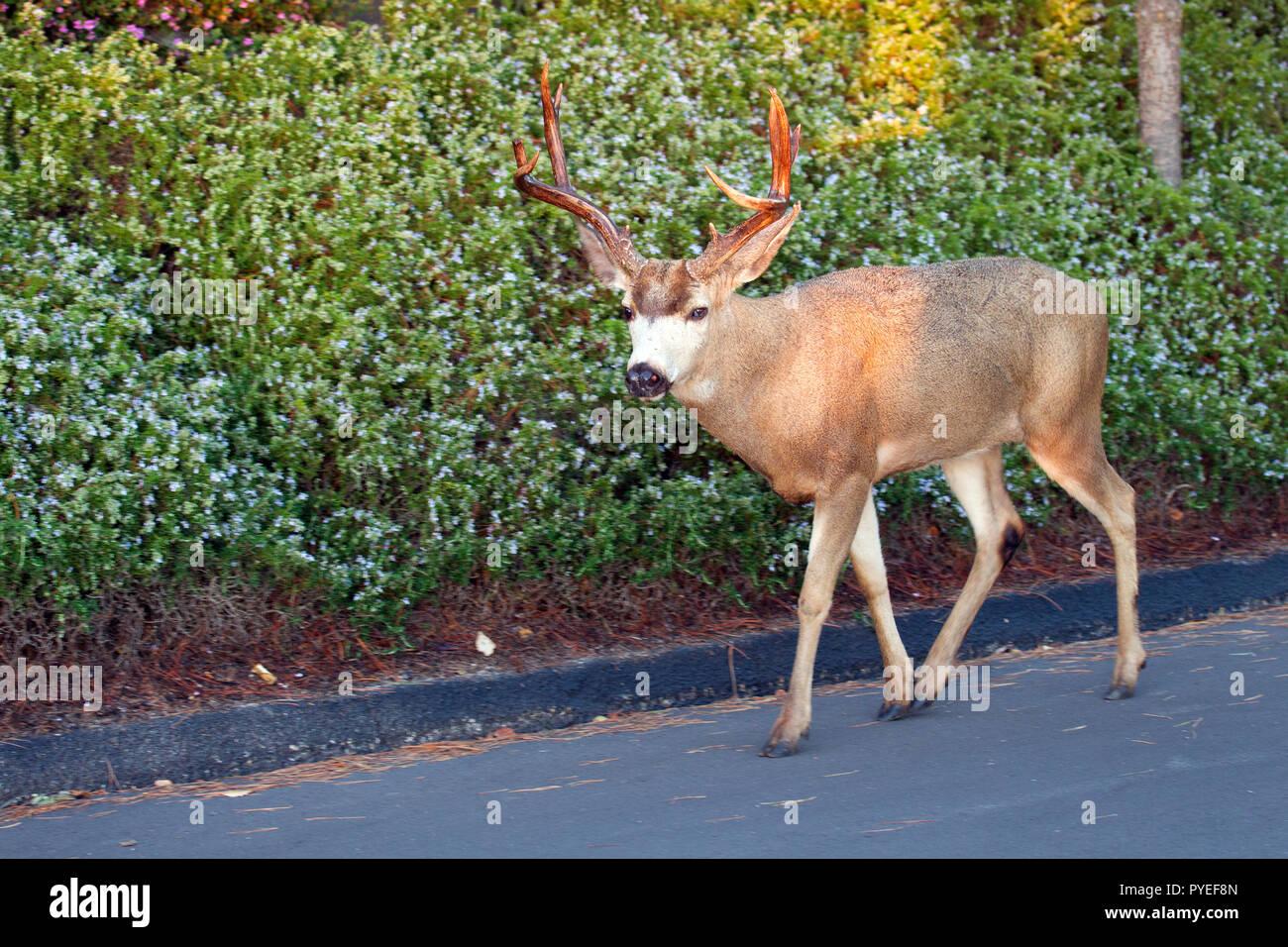 Blacktail Deer Buck Walking on Road - Stock Image