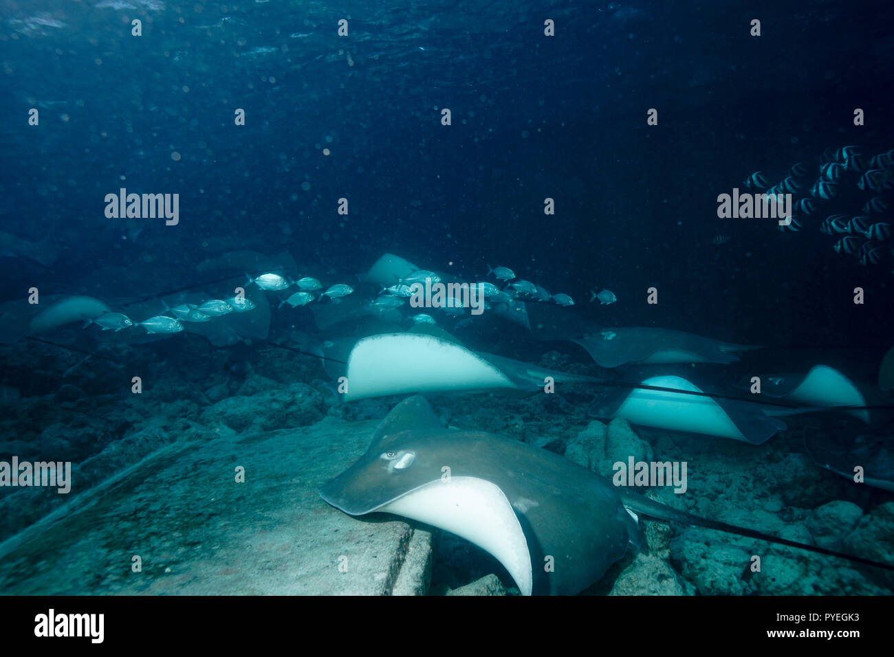 Stingray at Stingray city Maldives - Stock Image