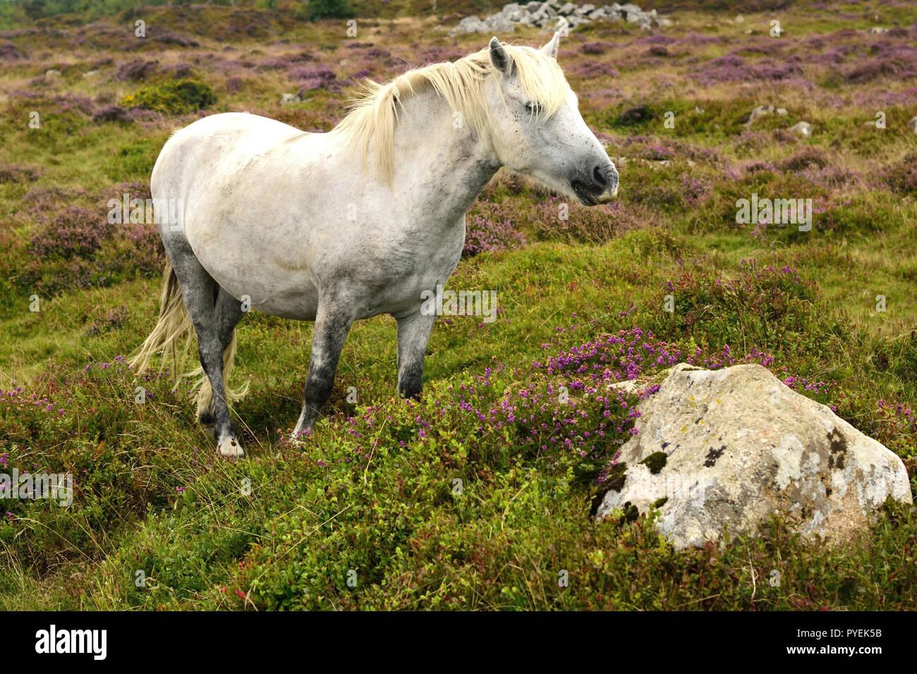 Dartmoor pony at Haytor. - Stock Image