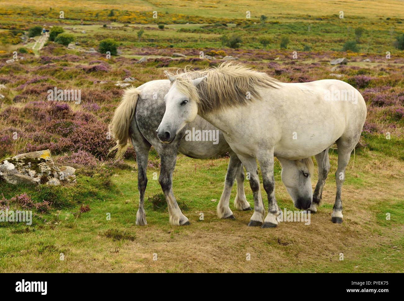 Dartmoor ponies at Haytor. - Stock Image