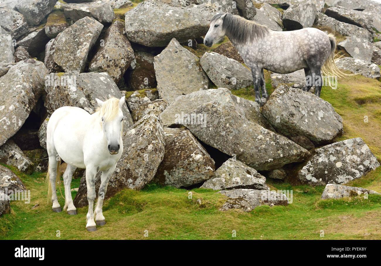Dartmoor ponies at Haytor, camouflaged against grey granite boulders. - Stock Image