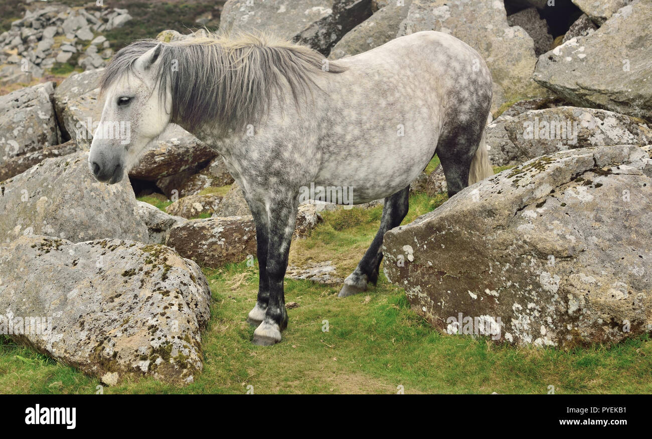 Dartmoor pony at Haytor, camouflaged against grey granite boulders. - Stock Image