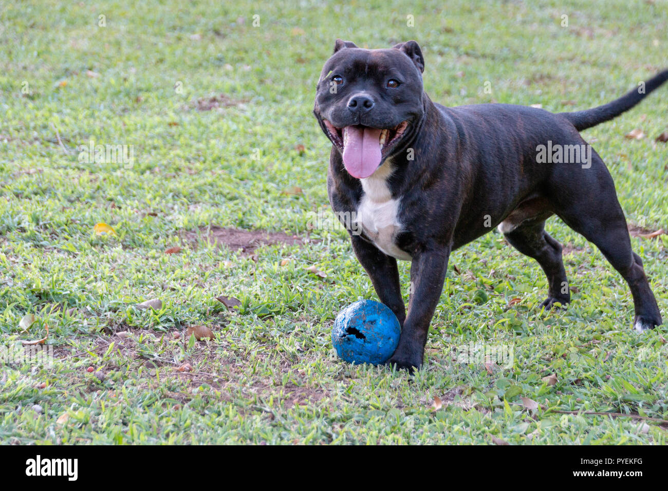 A close up view of a black and white dog playing with his blue chew toy in the garden - Stock Image