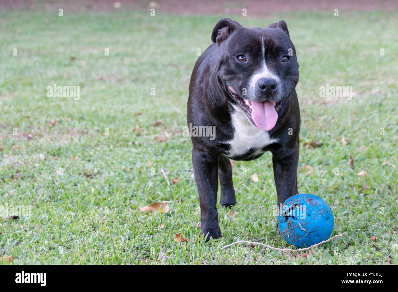 A close up view of a black and white dog playing with her blue chew toy in the garden - Stock Image