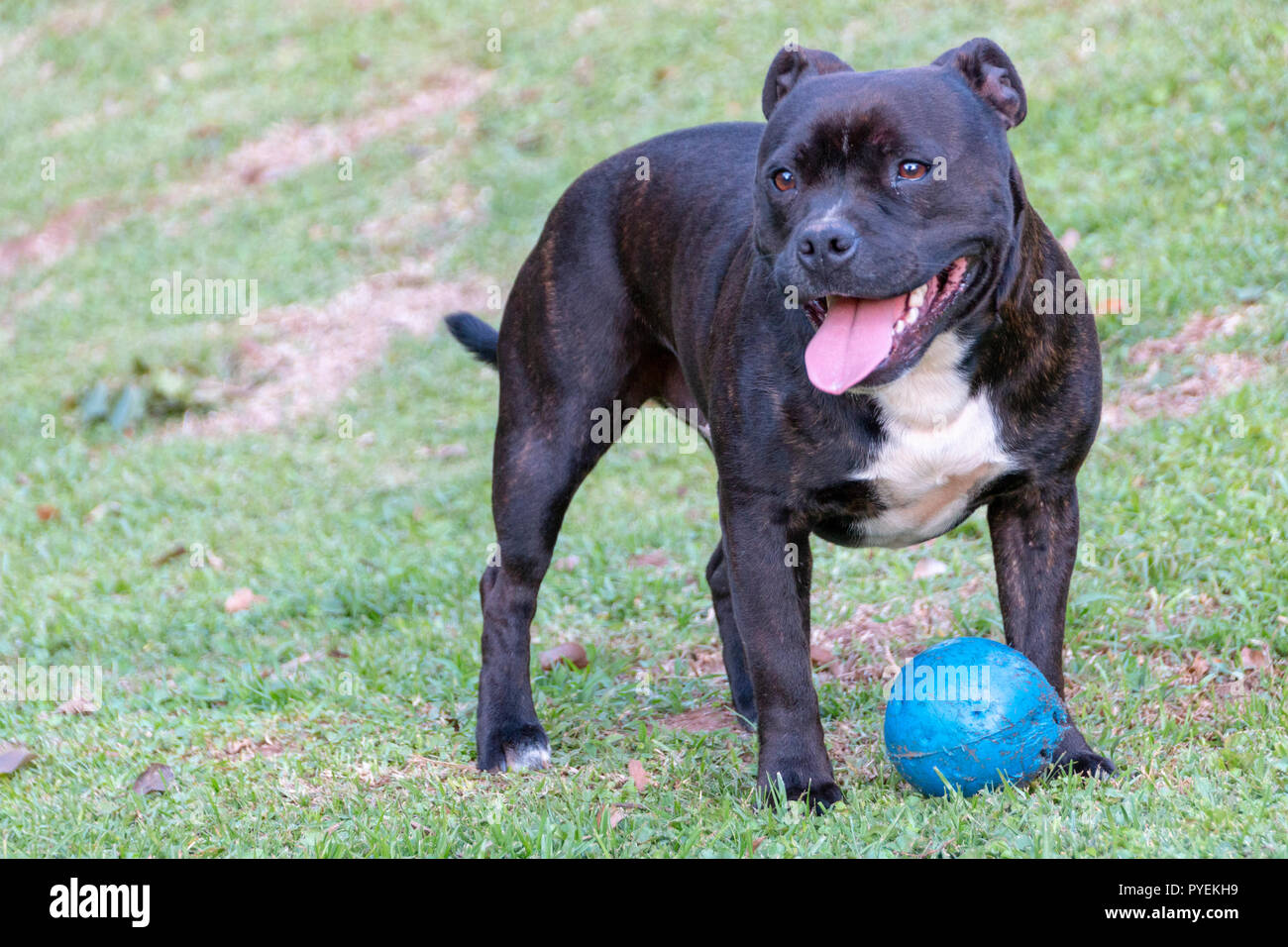 A close up side view of a black and white dog playing with his blue chew toy in the garden - Stock Image
