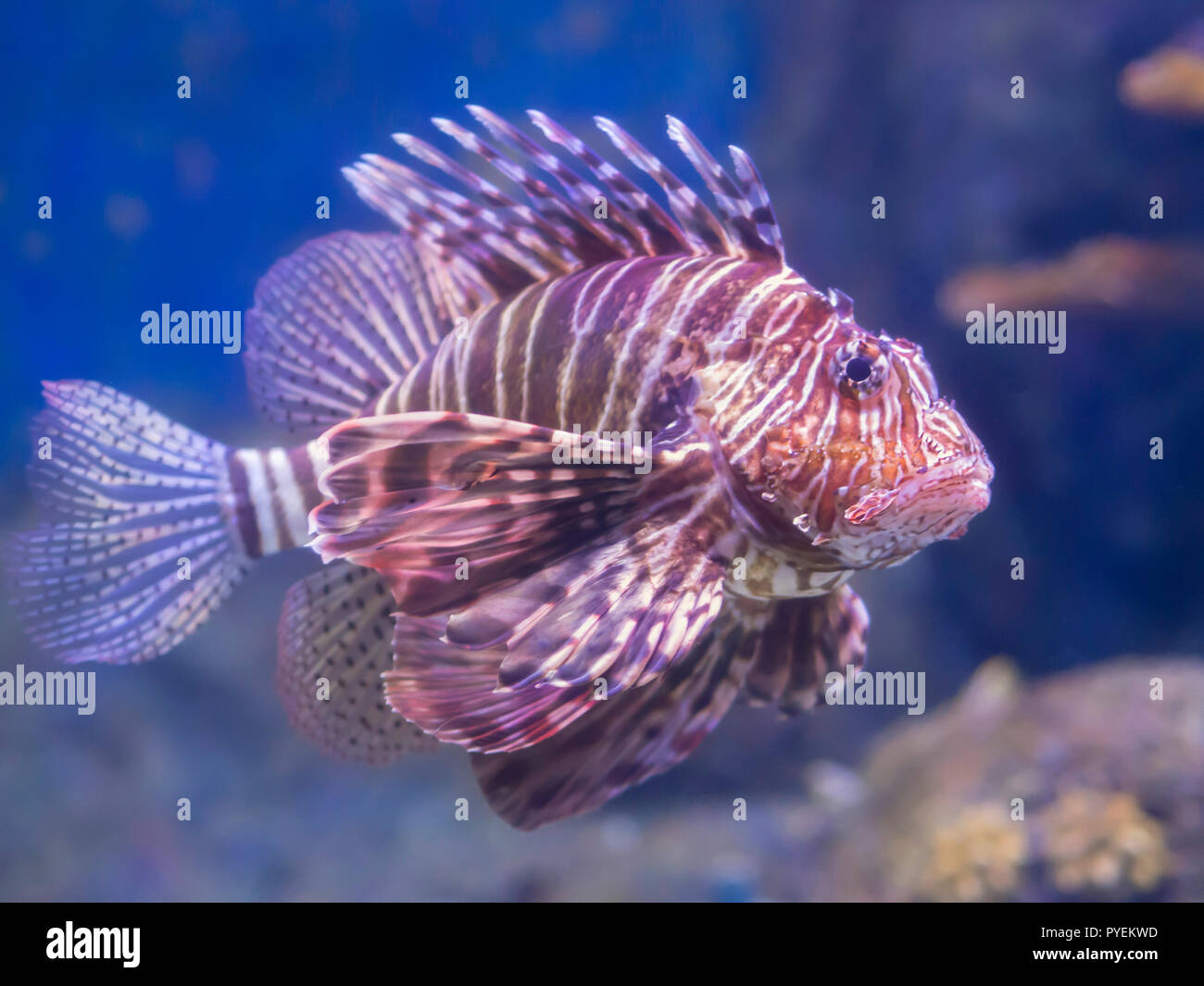 Large Lion Fish Found In The Aquarium Ugly Fish With Large And