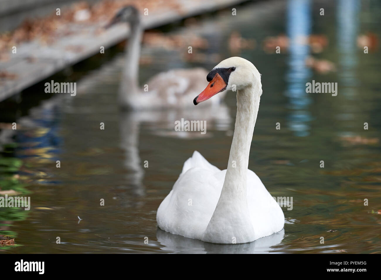 adult swan swimming in the lake Stock Photo