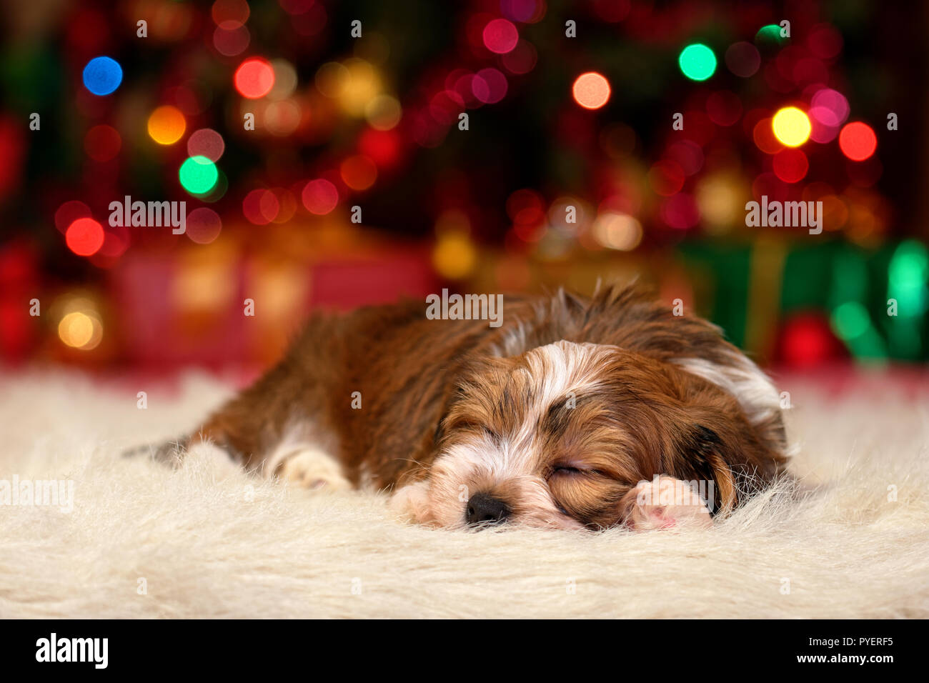 Cute sleeping Bichon Havanese puppy dog is dreaming about Christmas - Stock Image