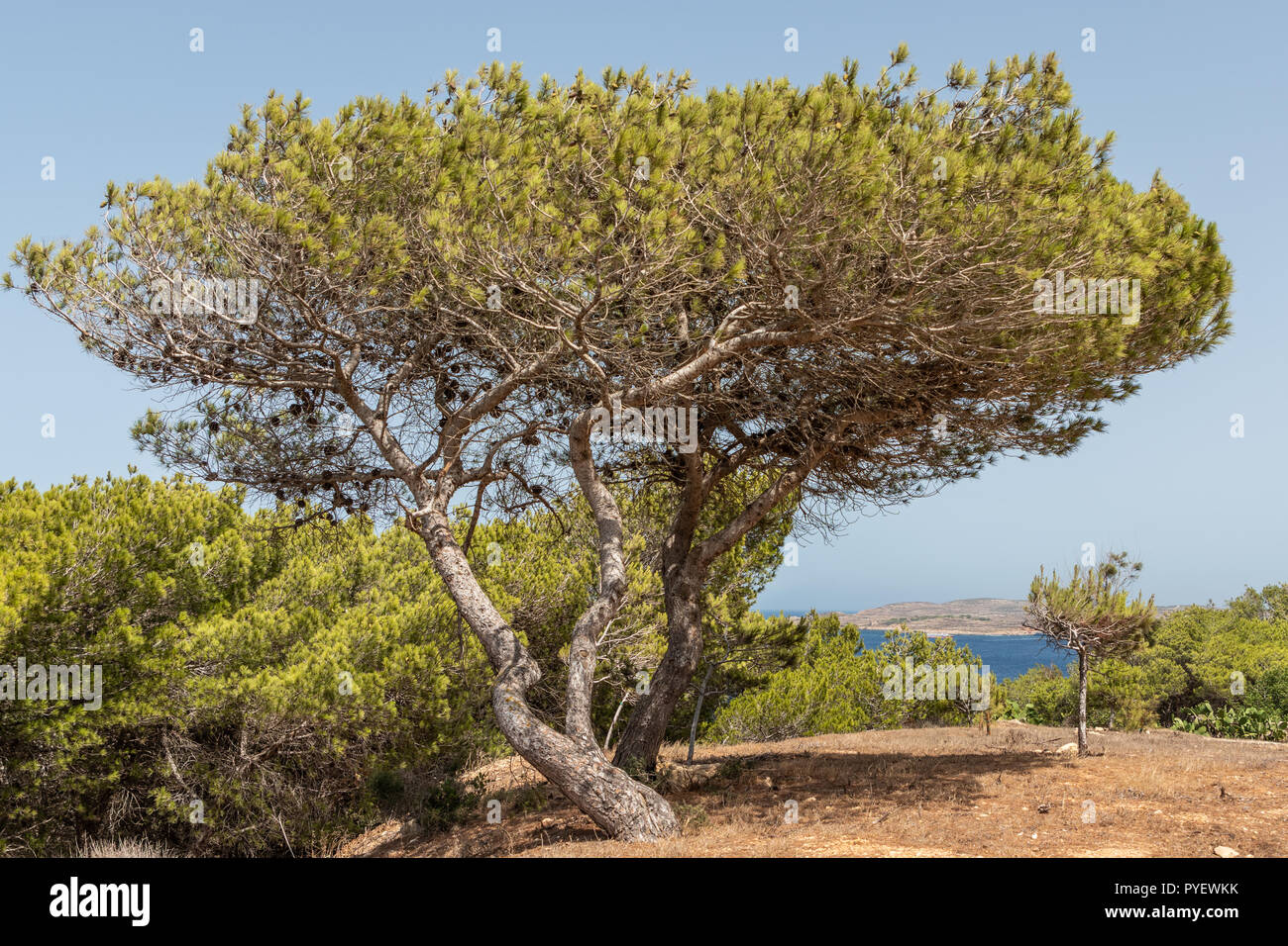 Pinus halepensis, Aleppo pine, evergreen tree. Horizontal. space for text. - Stock Image