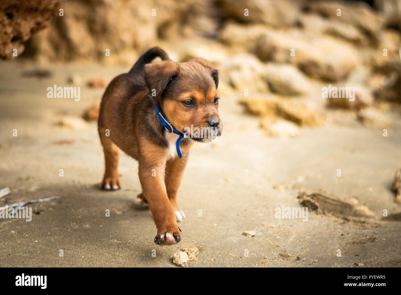 Labrador And Rotwailer Mix Breed Puppy Dog Brown And Black Color Walking Free With A Blue Collar On The Beach Stock Photo Alamy