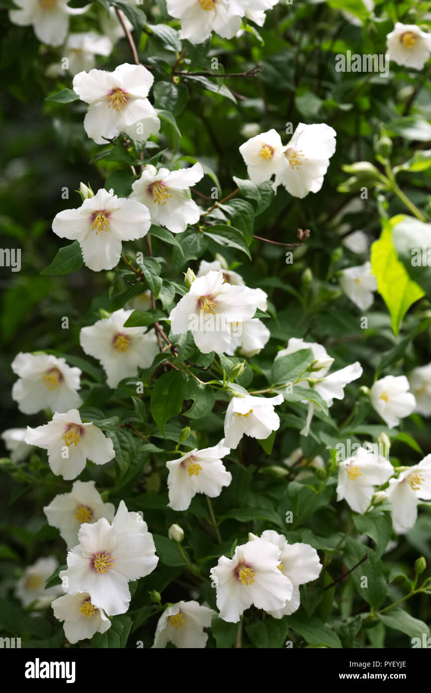 Philadelphus Belle Etoile Flowers Mock Orange Flowers