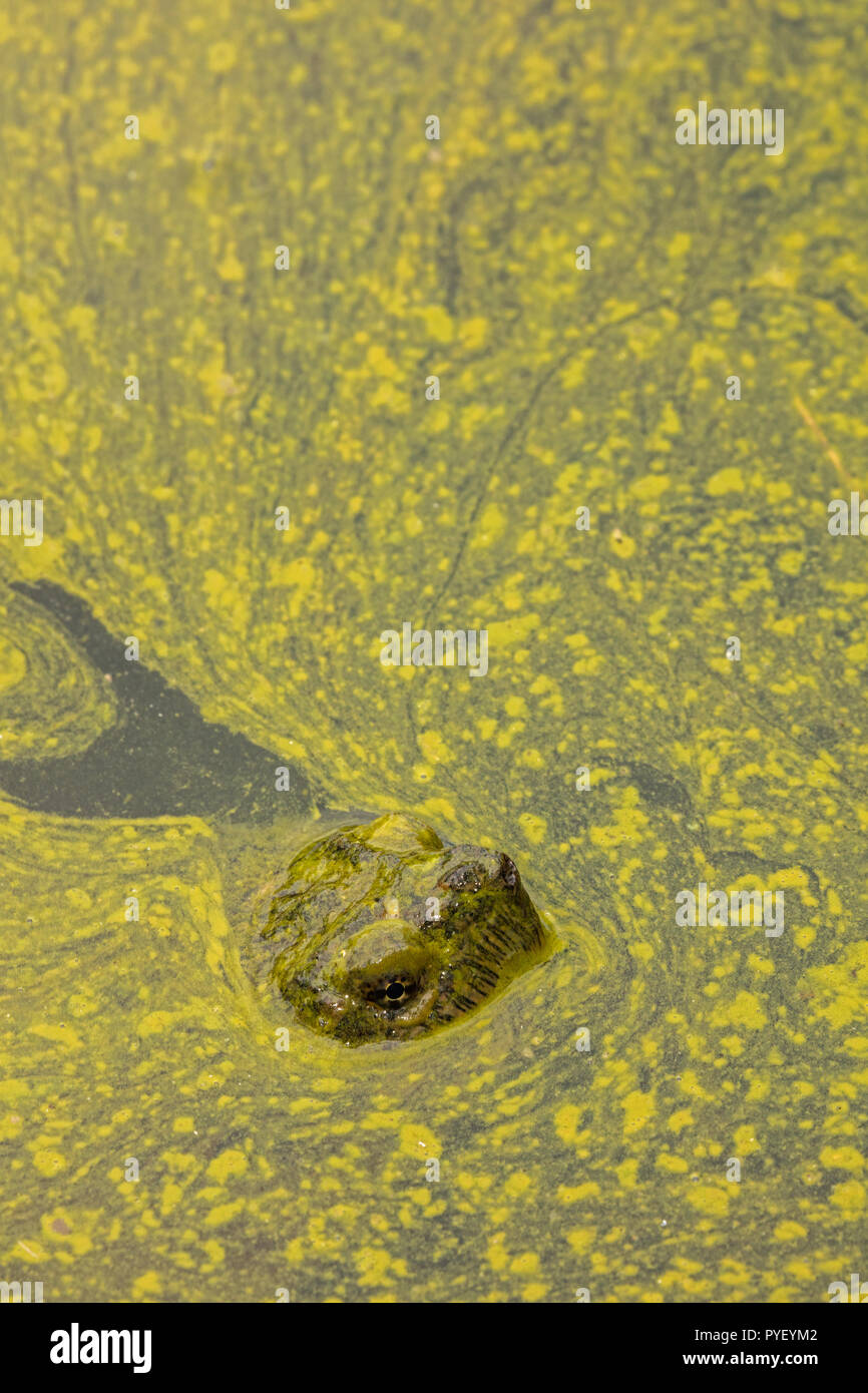 snapping turtle,Chelydra serpentina, and algal bloom,Cyanobacteria, blue-green algae, microcystin-producing cyanobacterium,Woronichinia naegliana,Md. - Stock Image