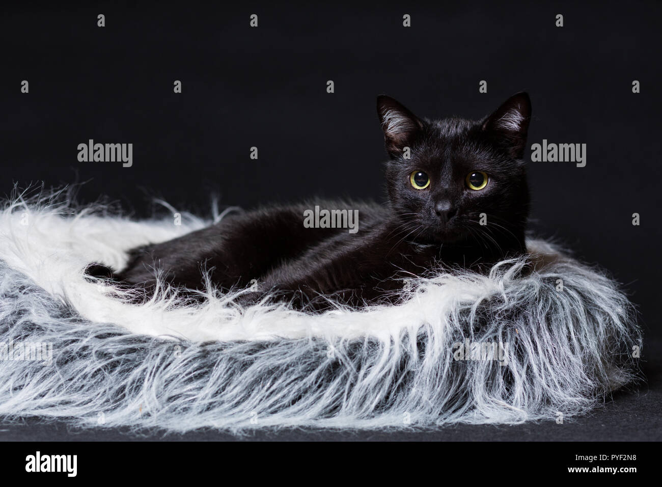 cat of black color lies on its stove on a black background - Stock Image