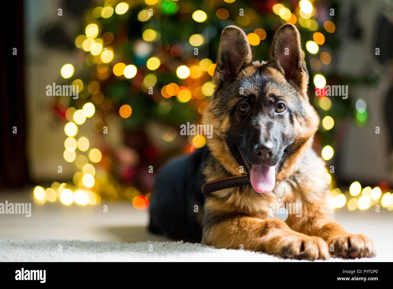 The Christmas Shepherd.German Shepherd Dog Lies On The Floor Near The Christmas
