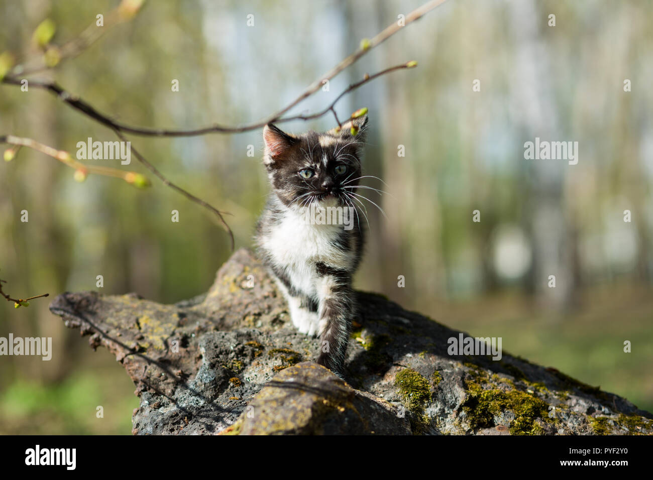 Small kitten of tortoiseshell color in the park creeps over a stone overgrown with moss - Stock Image