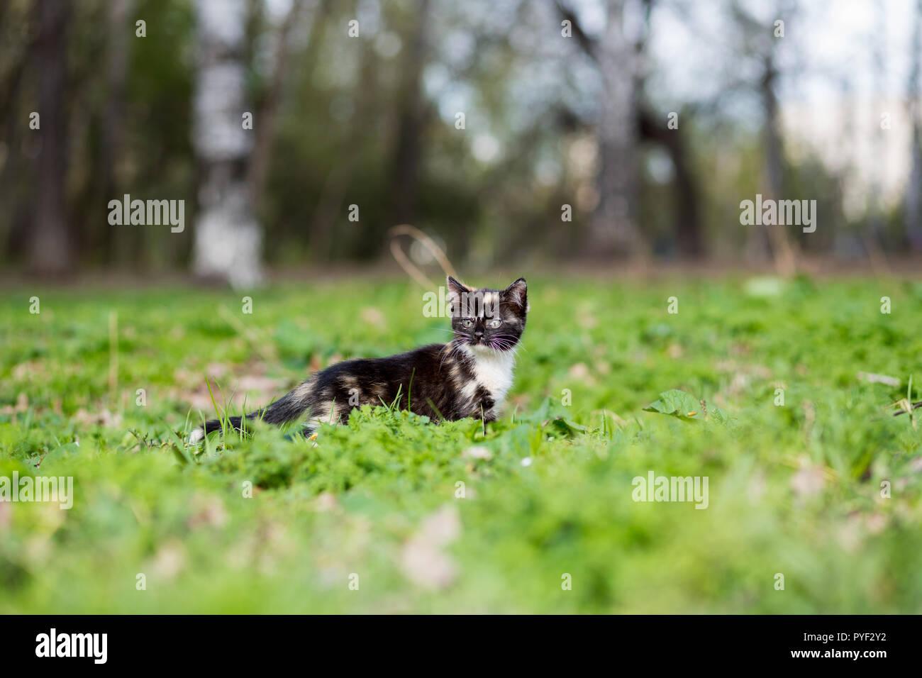 Little kitten tortoiseshell color in the park runs on the grass - Stock Image
