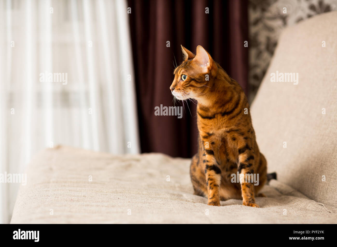 Adult Bengali cat sitting on the couch - Stock Image