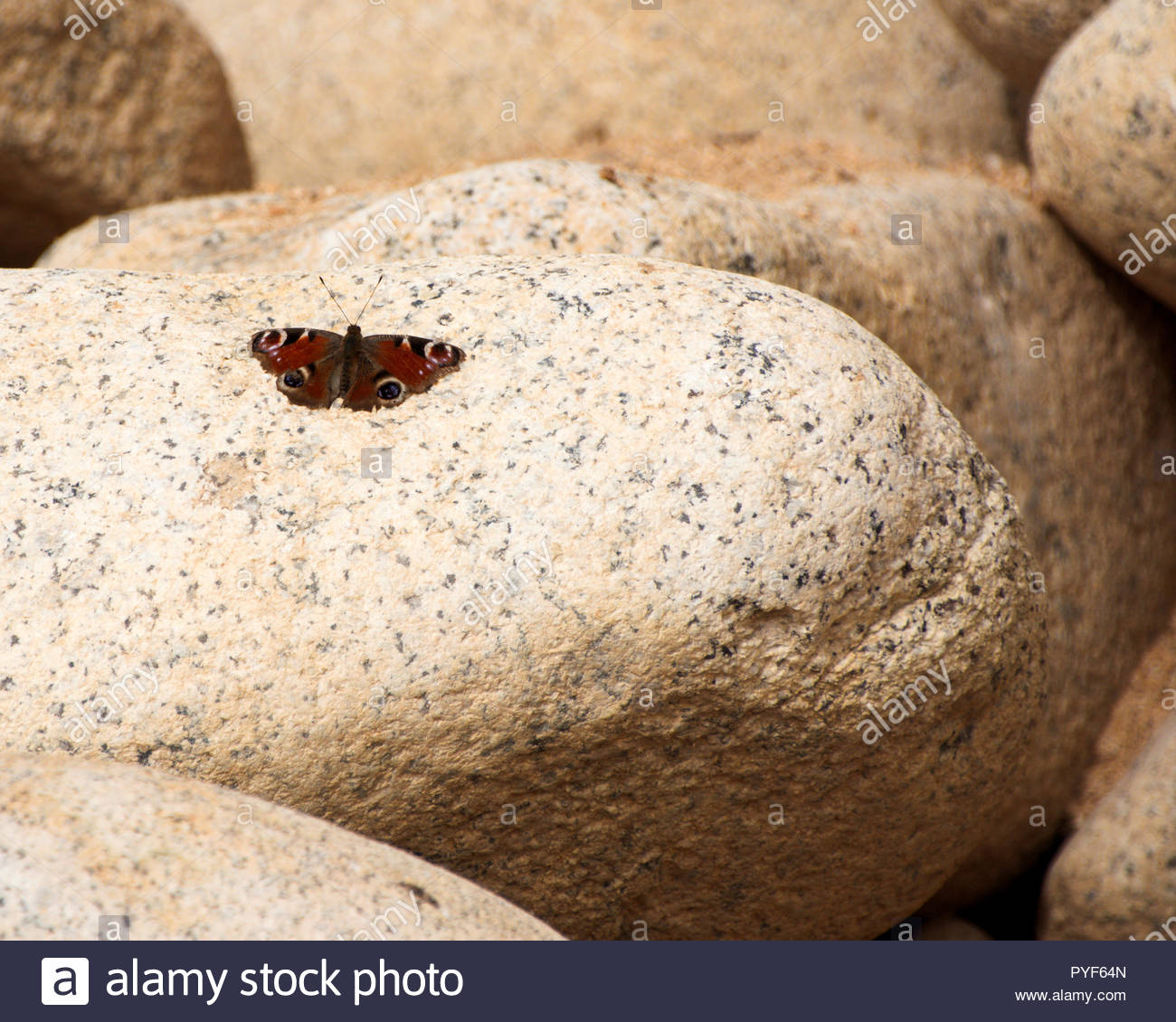 Peacock butterfly resting with wings open on granite boulder at Porth Nanven; West Penwtih; Cornwall; United Kingdom - Stock Image
