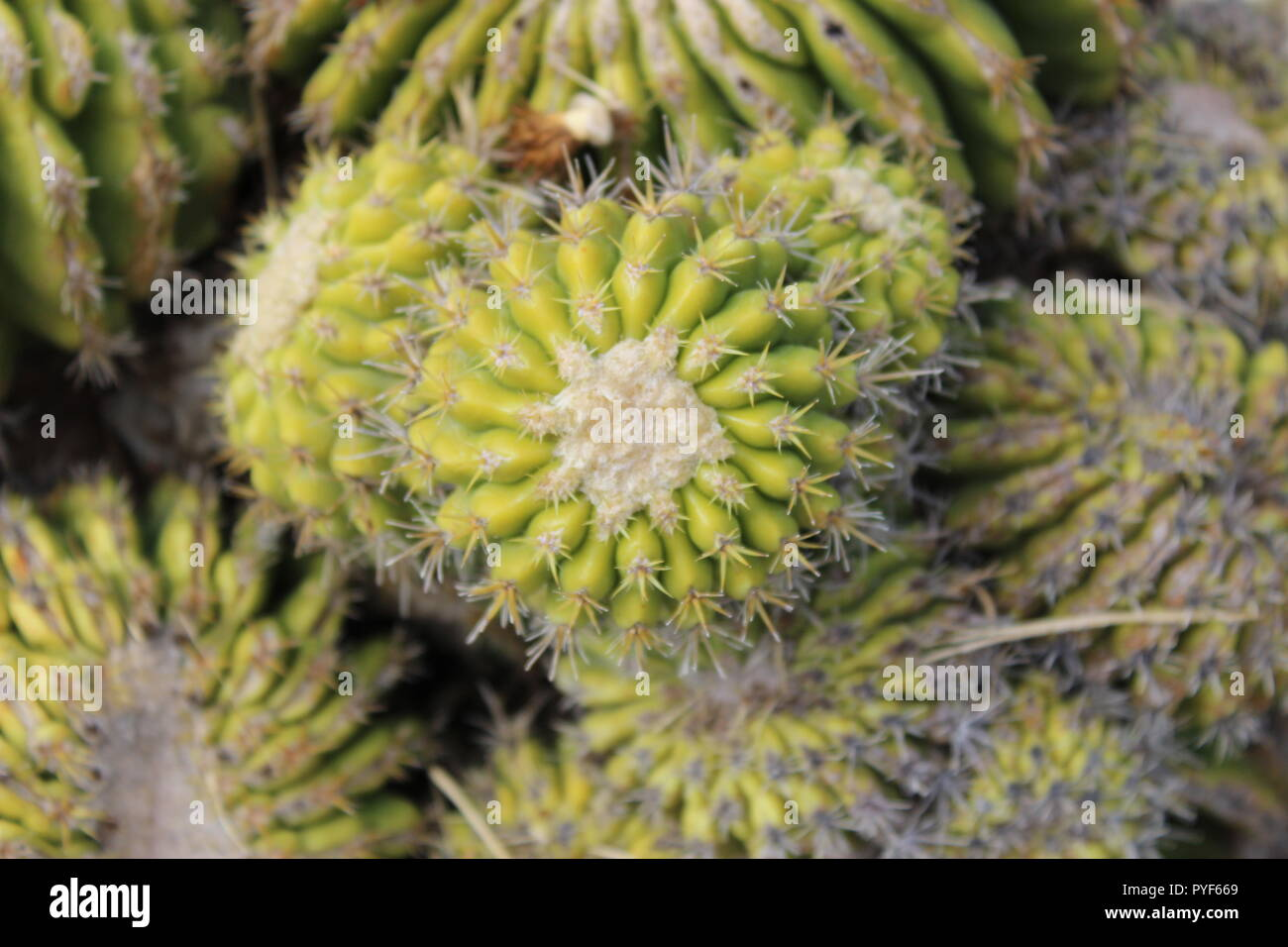 Dome-shaped cactus - Stock Image