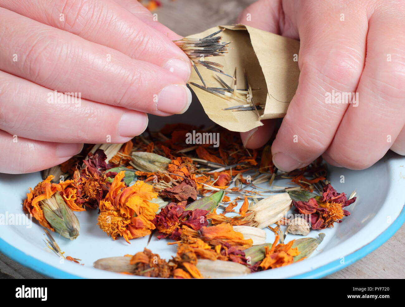Tagetes.. Marigold seed taken from dried seed heads saved into envelope for future planting, autumn, UK Stock Photo