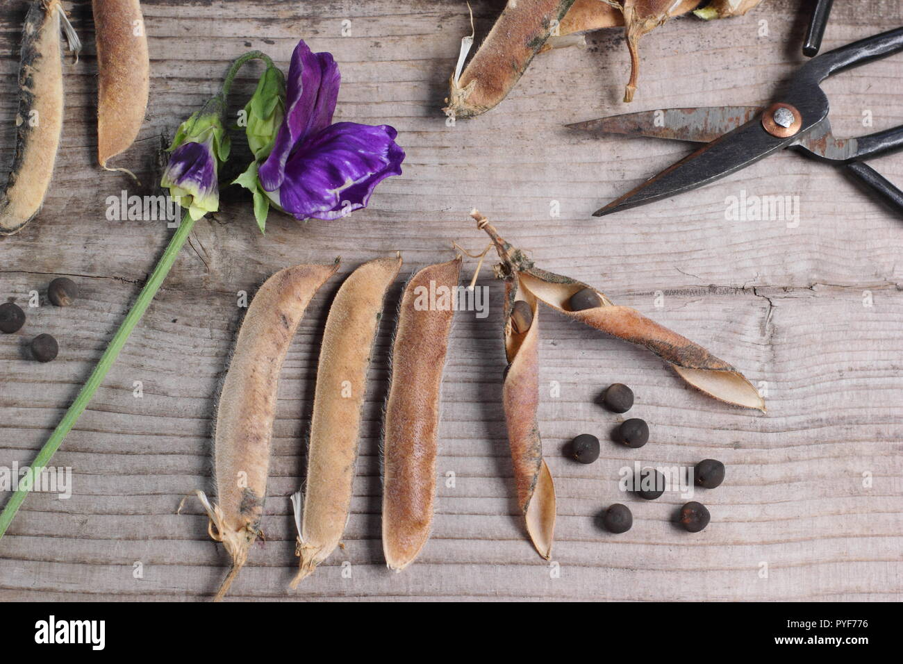 Lathyrus odoratus. Sweet pea 'Spencer' dried seed pods and seeds collected for future planting, autumn, UK - Stock Image