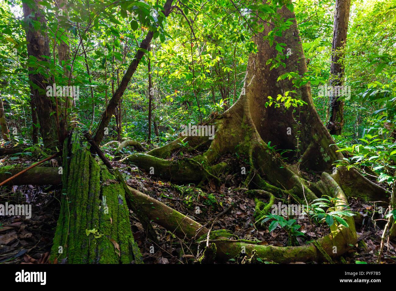 lush undergrowth jungle vegetation in a virgin rainforest of the aru  islands, papua, indonesia