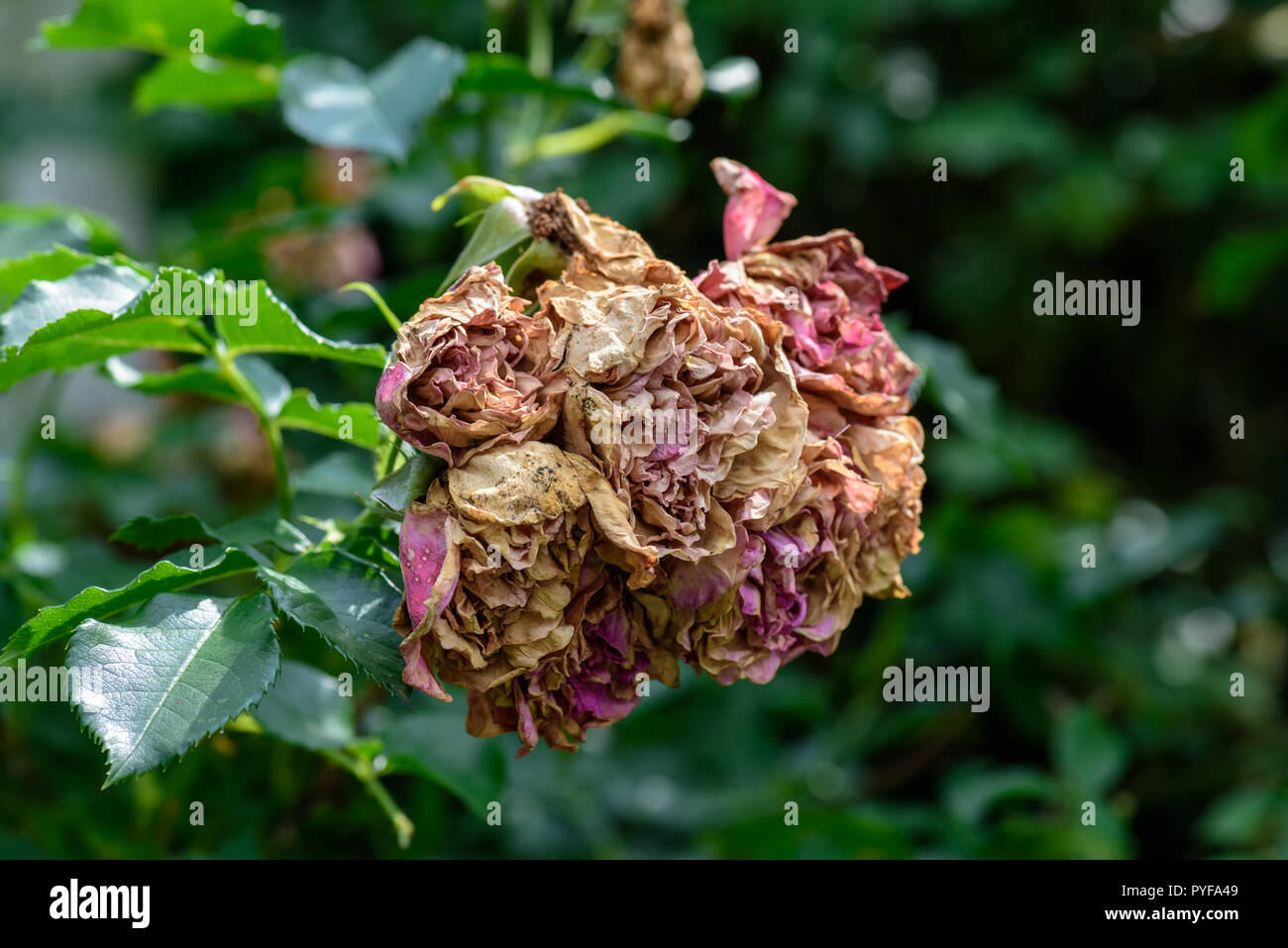 Color outdoor nature flower image of a bunch of fading rose blossoms on natural blurred green background,symbolic age,decay,fade,wrinkled - Stock Image