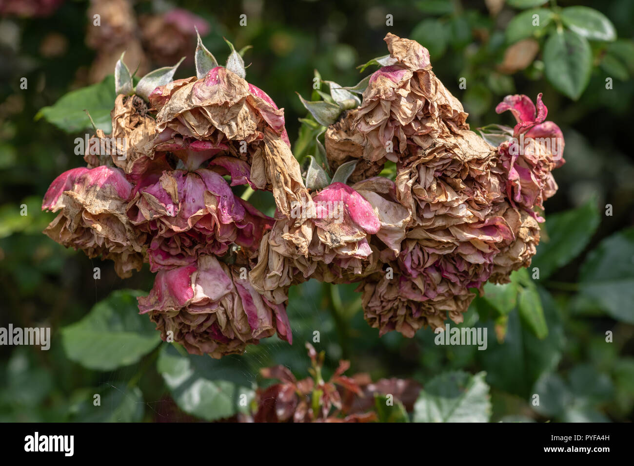 Color outdoor nature flower image of a fading lush bunch rose blossoms on natural blurred green background,symbolic age,decay,fade,wrinkled - Stock Image