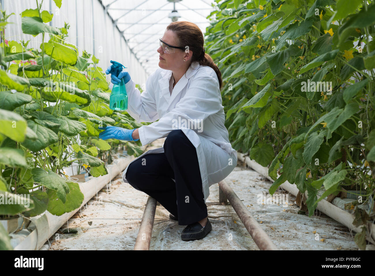 Scientist watering plants in greenhouse - Stock Image