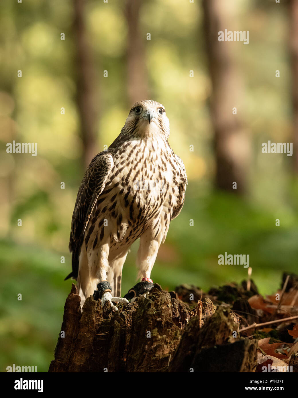 UK, Sherwood Forrest, Nottinghamshire  Birds of Prey Event - October 2018: Juvenile Gyr Peregrine in captivity. The name Gyrfalcon may be a hybrid of  Stock Photo