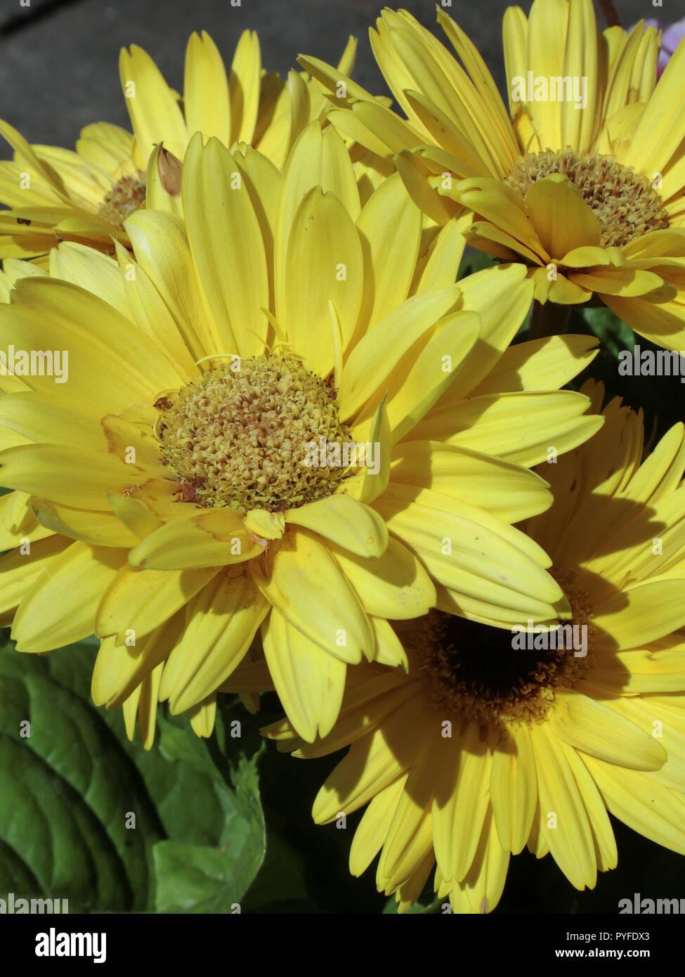 Gerbera Mega Revolution Yellow Flowering Variety in Summer - Stock Image