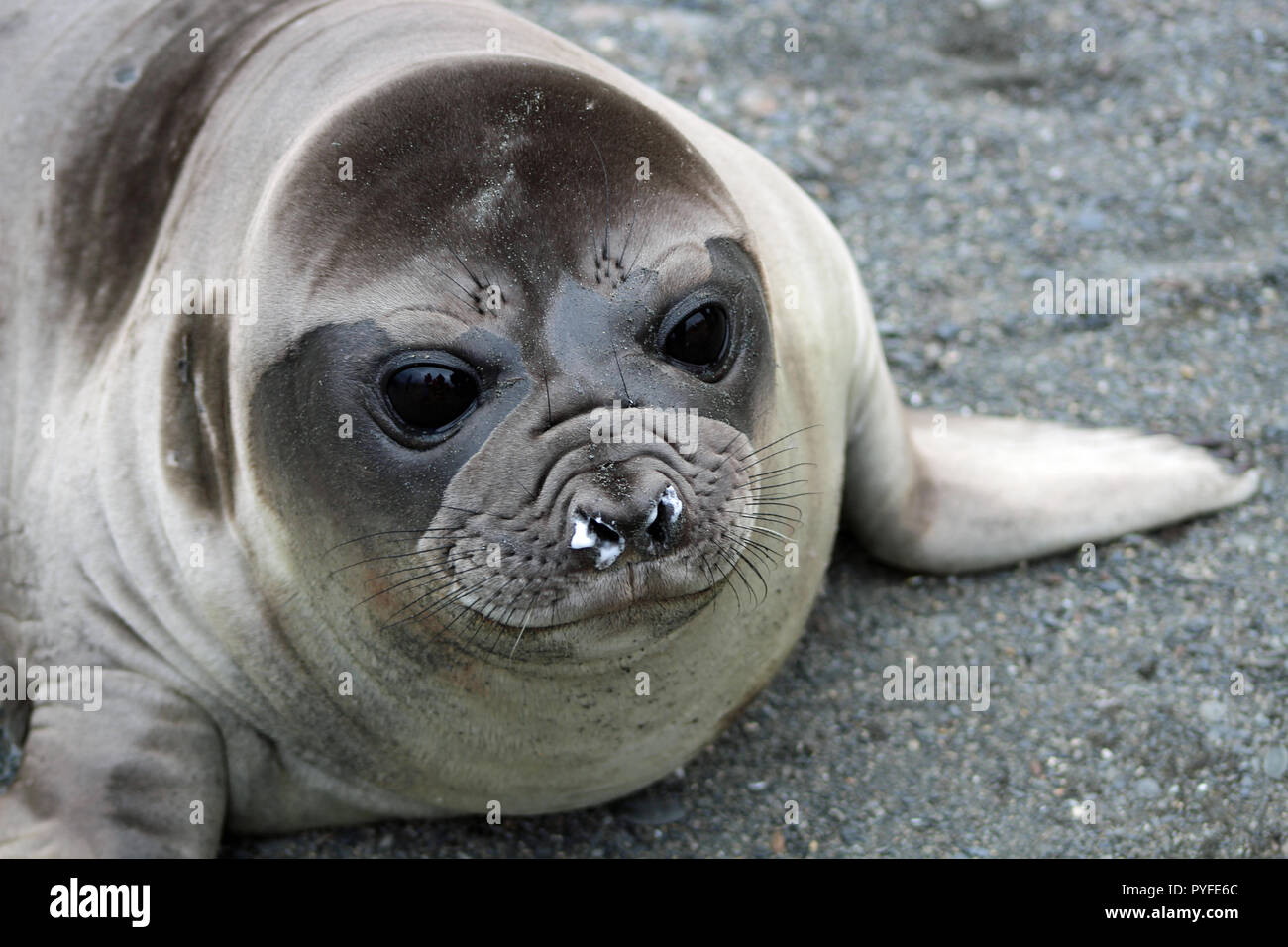 A juvenile seal with a runny nose and gorgeous big eyes on the remote beaches of South Georgia reached on an expedition cruise to Antarctica - Stock Image