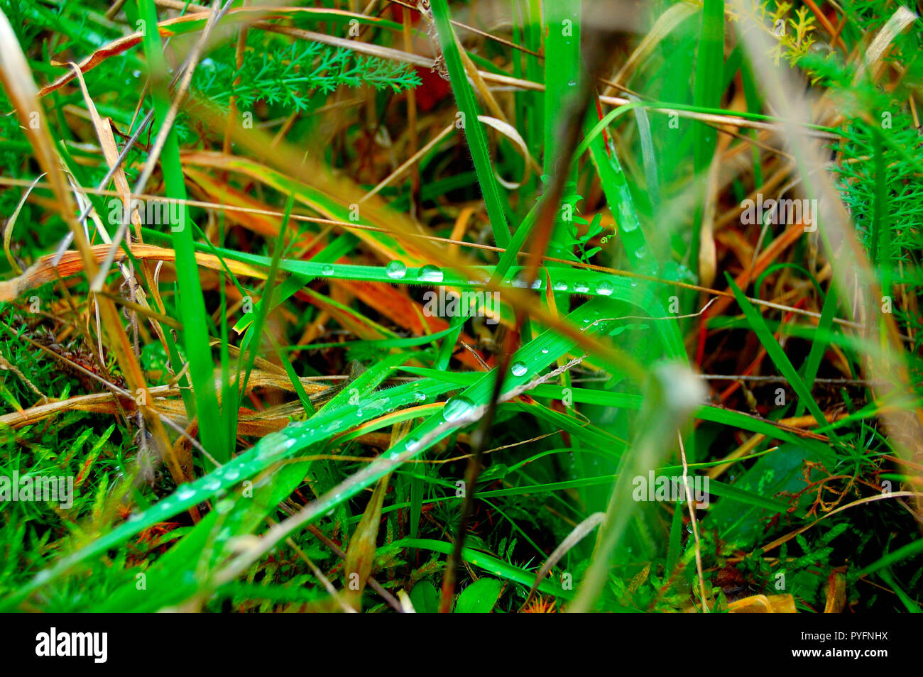 Drops of dew on the grass. - Stock Image