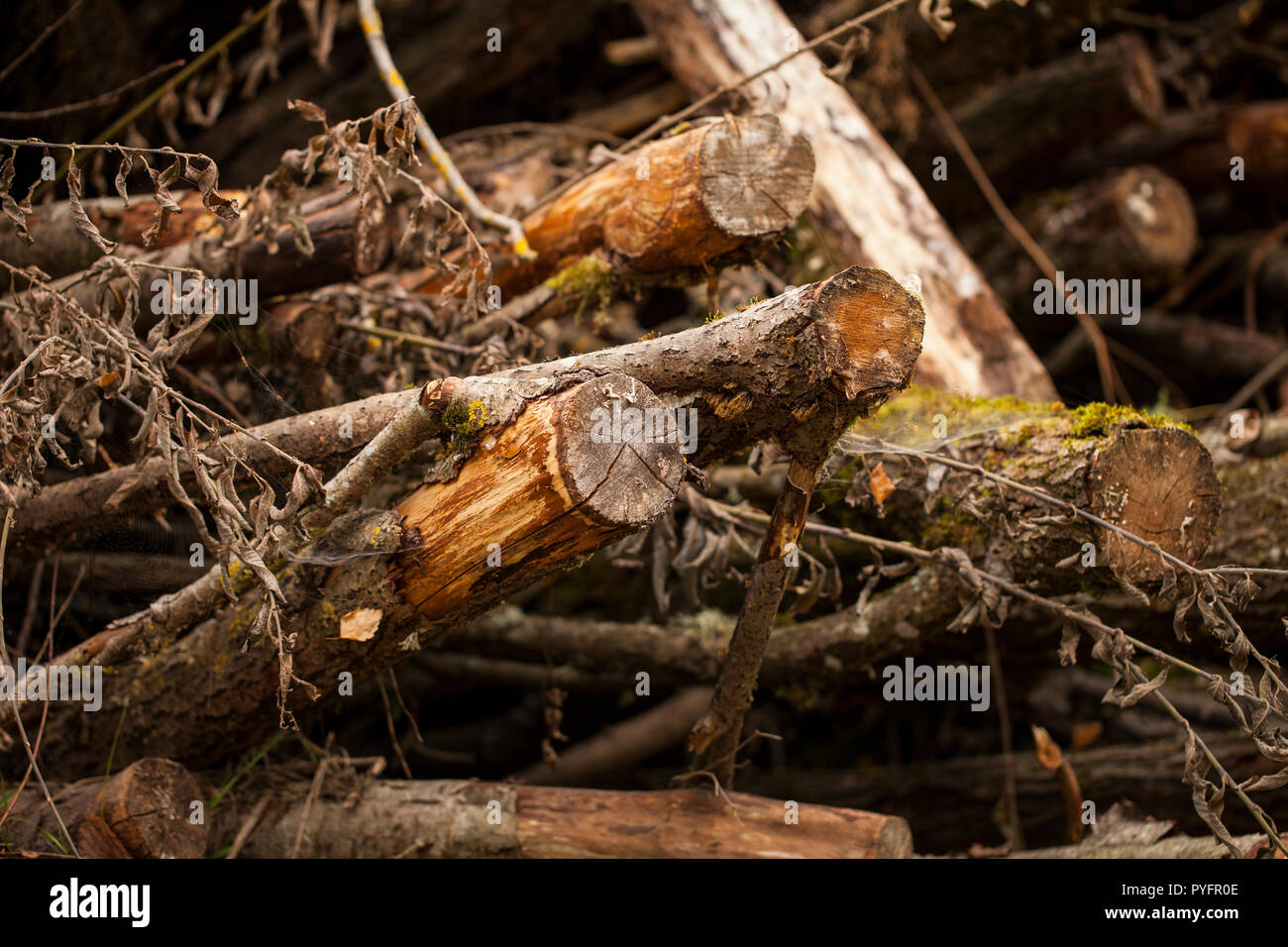 A large stack of timber in a forest waiting to be turned into biofuel Stock Photo