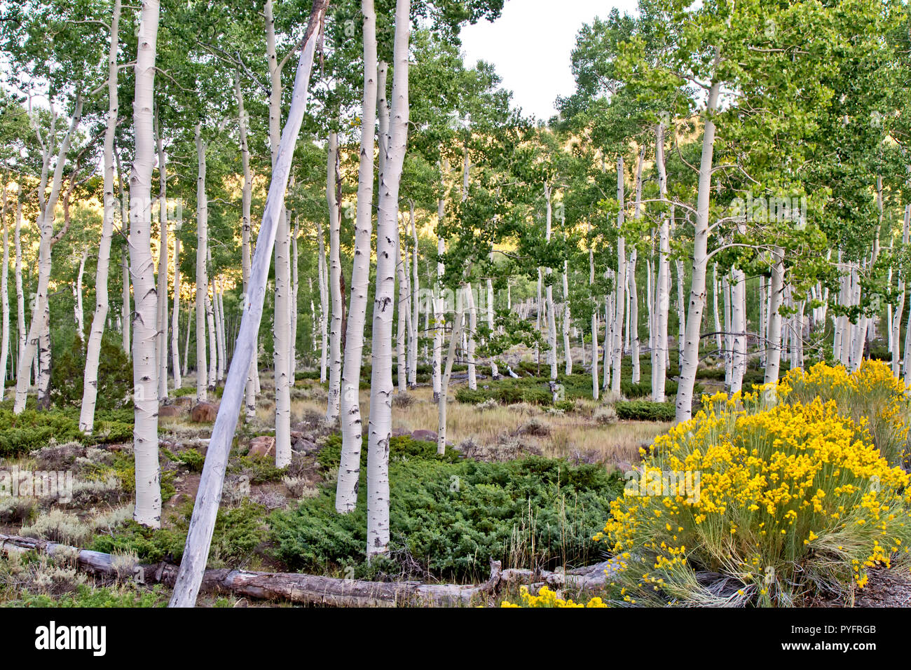 Quaking Aspen Grove 'Pando Clone'  at sunrise,  also known as Trembling Giant, Clonal colony of an idividual male quaking aspen. - Stock Image
