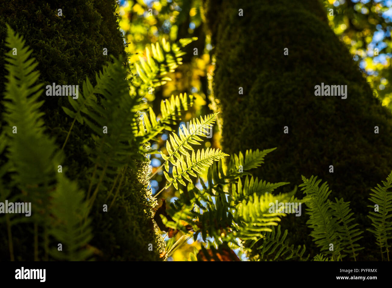 Polypodium glycyrrhiza, Licorice ferns on Big leafed Maple trunk, Tynehead Regional Park, Surrey, British Columbia, Canada. Stock Photo