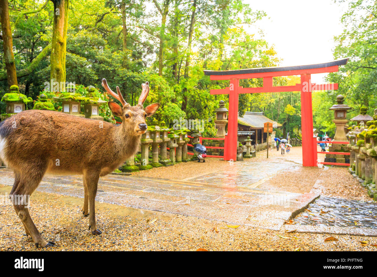 Wild deer and Torii gate of Nara Park in Japan. Deer are Nara's greatest tourist attraction. red Torii gate of Kasuga Taisha Shine one of the most popular temples in Nara City. Stock Photo
