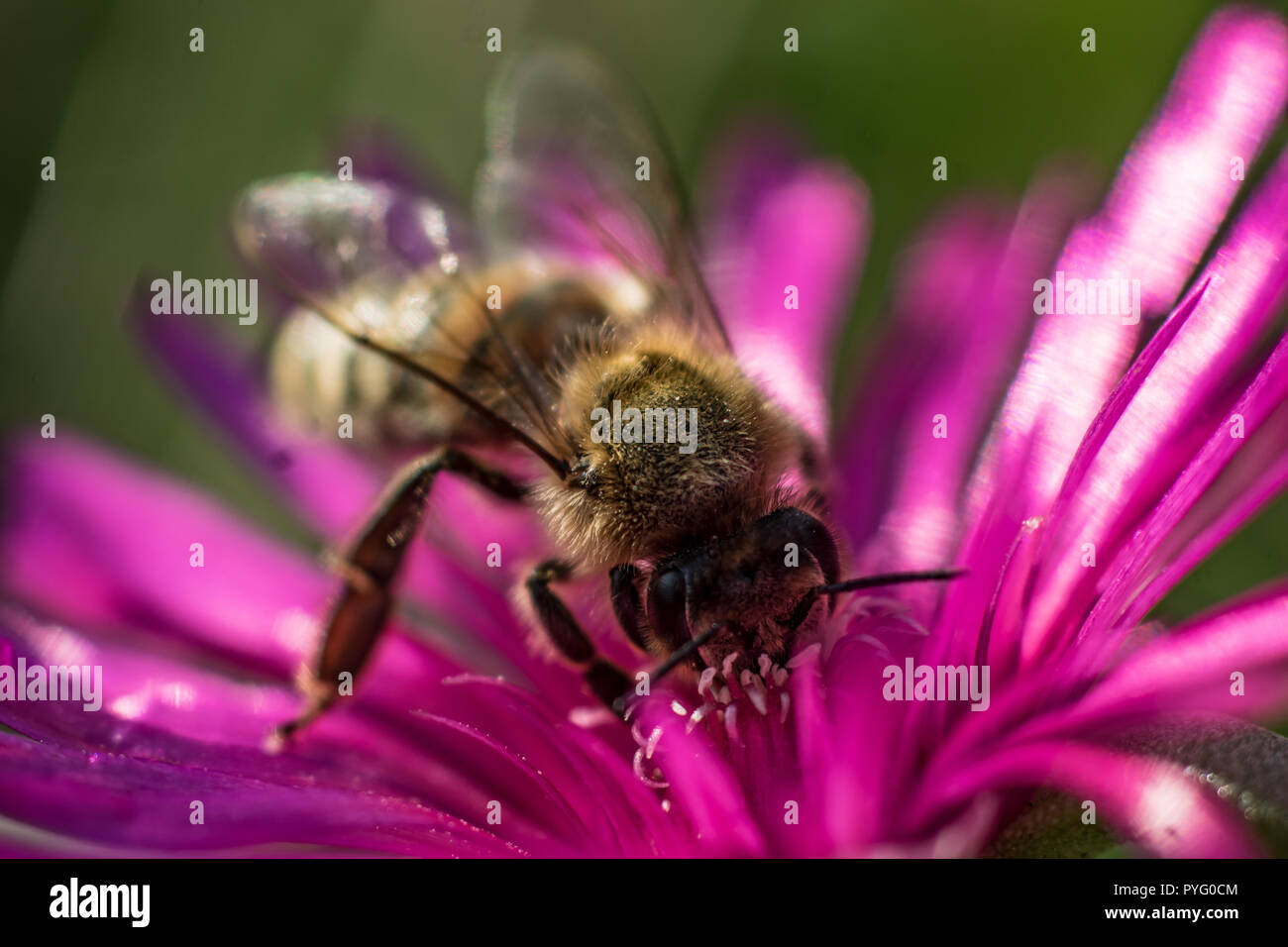 Bee on noon flower macro close up - Stock Image