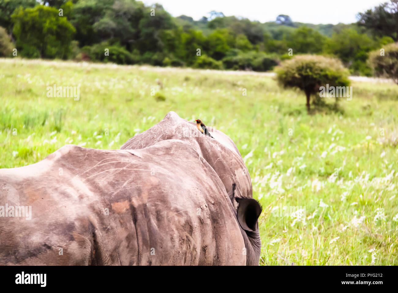 Southern white rhinoceros with Oxpecker perching on its back - Stock Image