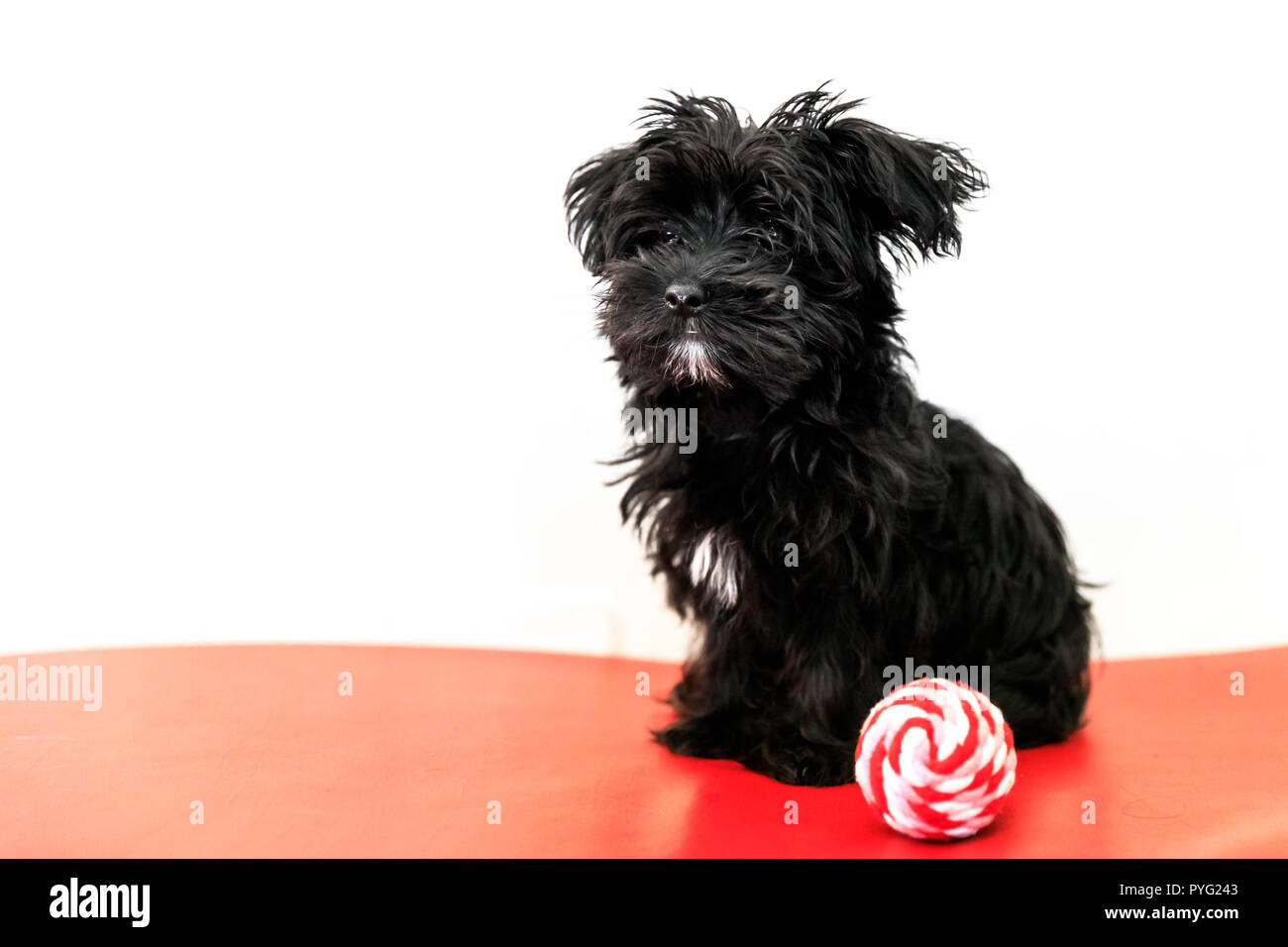 Maltese Yorkshire Terrier Stock Photos & Maltese Yorkshire