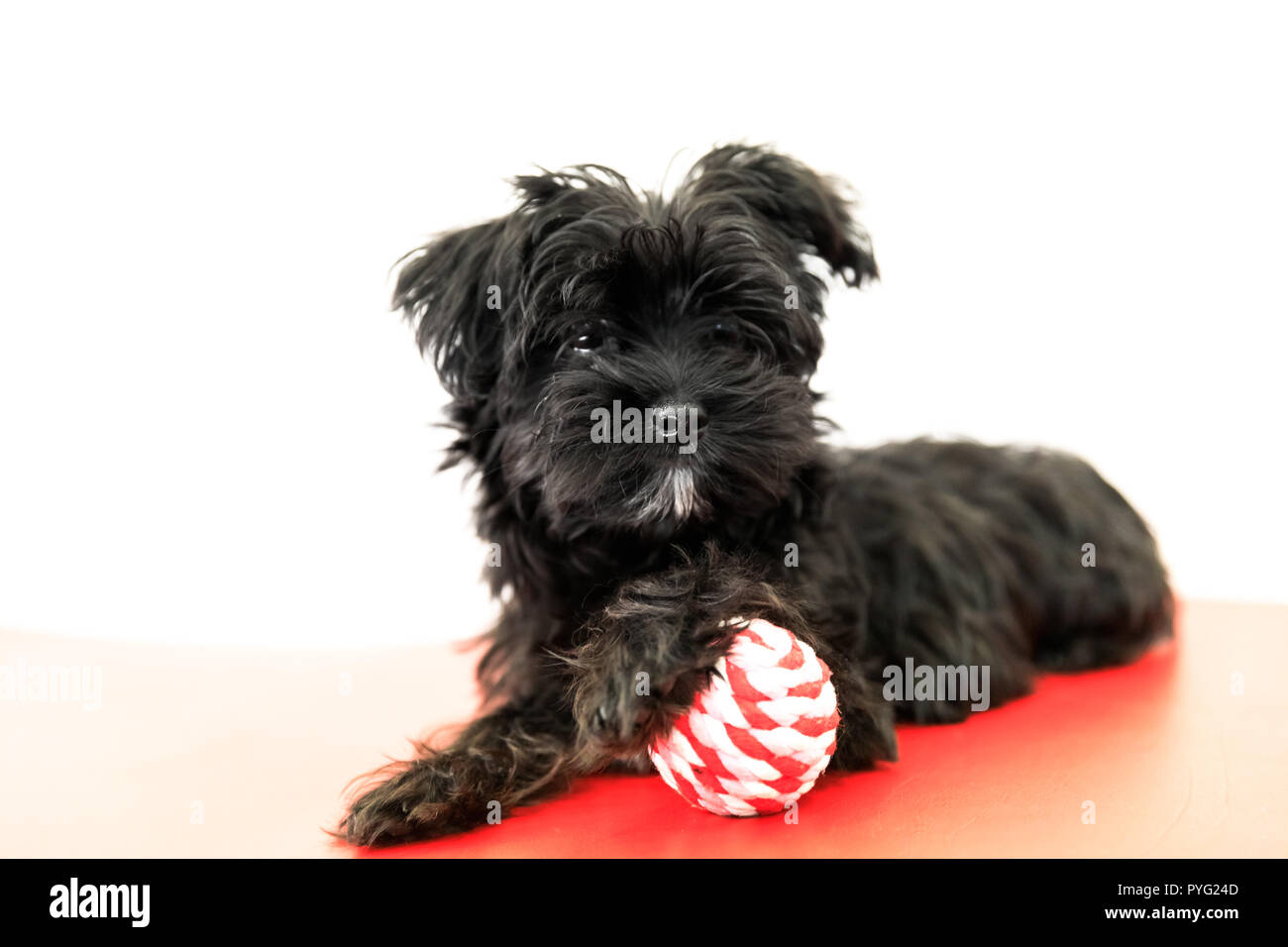 black Yorktese Malkie dog waiting to play on the sofa, Isolated on white background with copy space. Breed from Maltese and Yorkshire Terrier dogs. - Stock Image