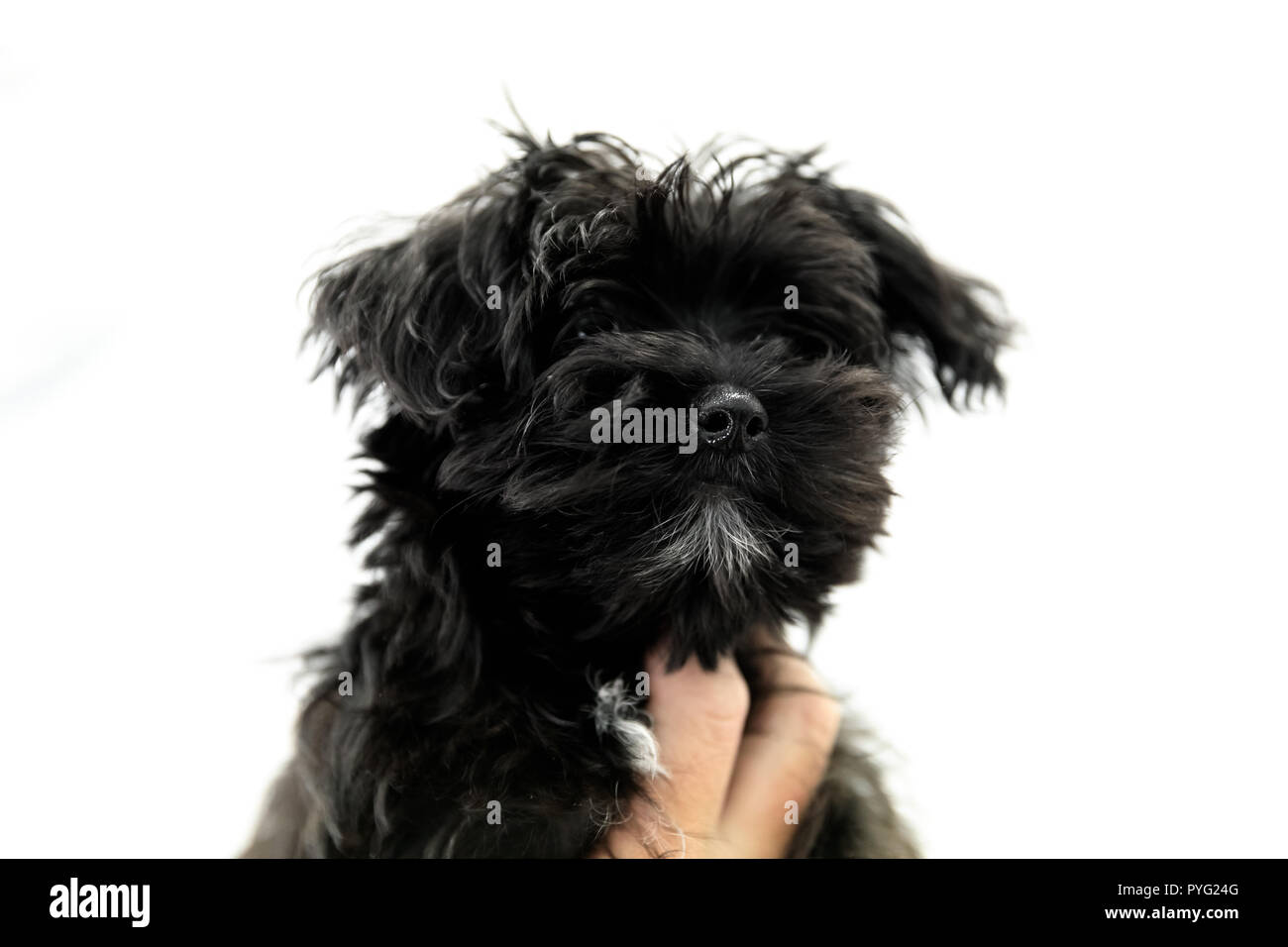 black Yorktese puppy on white background with copy space. Breed from Maltese and Yorkshire Terrier dogs. - Stock Image