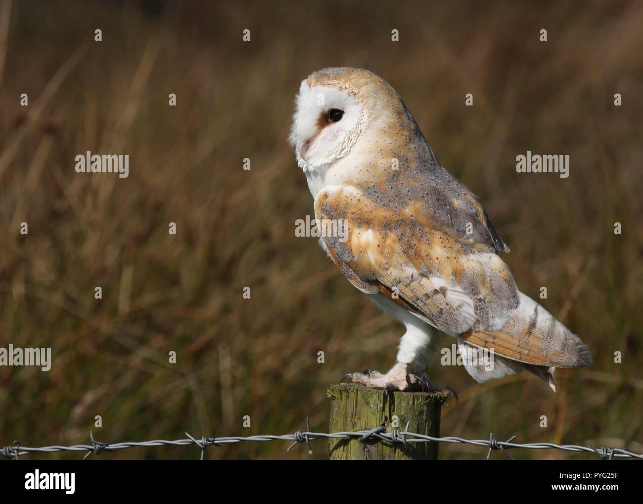 Barn Owl(Tyto alba) perched on a fence post at the edge of a field in Mid Wales, UK - Stock Image