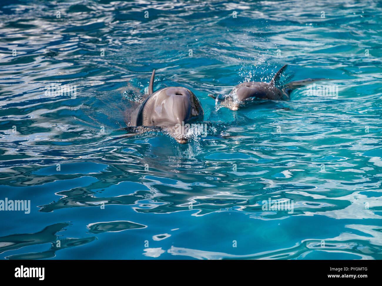 Bottlenose dolphin Tursiops truncatus swims along the shoreline of Key West, Florida in summer. - Stock Image