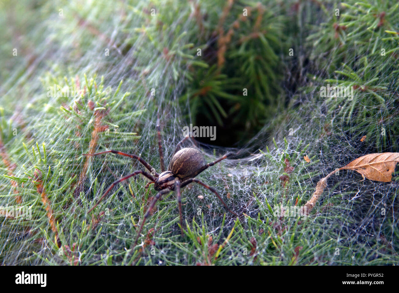 Close up of a venomous funnel web spider leaving its funnel like web nest in an evergreen shrub - Stock Image